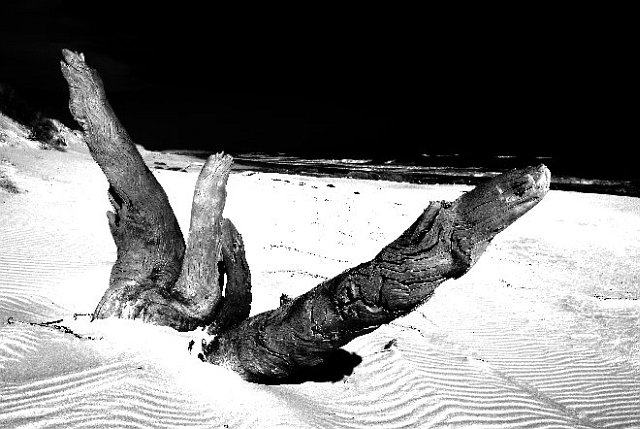 Stump on the beach at Thurra River