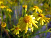 fireweed-0171