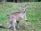 tom-groggin-kangaroos-2039