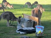 tom-groggin-kangaroos-2694