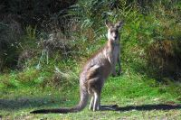 tom-groggin-kangaroos-5315